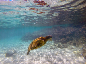 Turtle or Honu